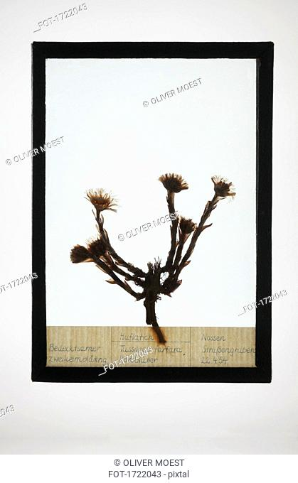Reproduction of Coltsfoot plant specimen