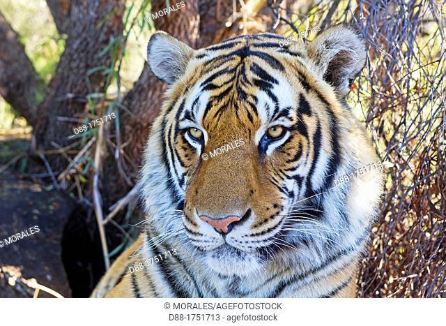 Asian Bengal Tiger (Panthera tigris tigris) resting in a private reserve