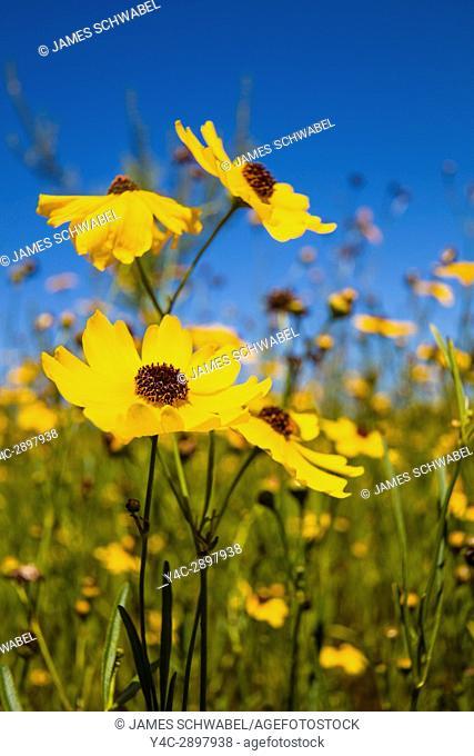 Yellow Florida Tickseed (Coreopsis floridana) in bloom in Myakka River State Park Sarasota Florida