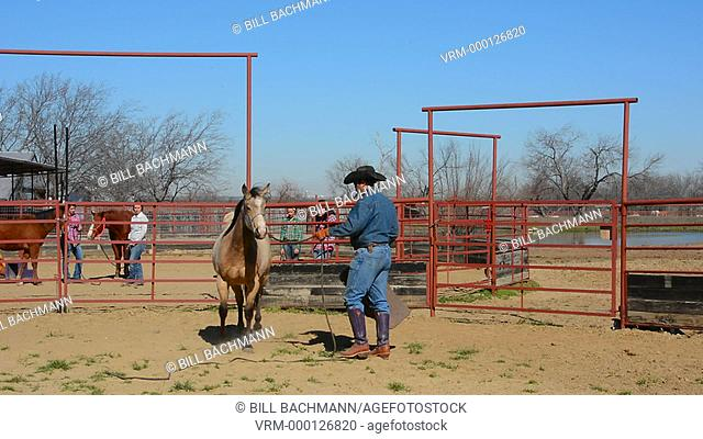 Dallas Texas Tate Ranch cowboy training 2 year old horses to put on first saddle on them for training at ranch to break them for riding  3