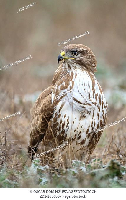 Eurasian Buzzard (Buteo buteo) perched on ground. Ivars lake. Lleida province. Catalonia. Spain