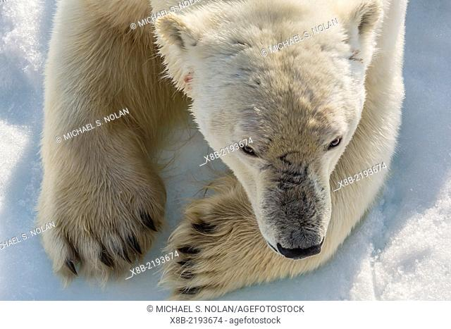 Adult polar bear, Ursus maritimus, close up head detail, Cumberland Peninsula, Baffin Island, Nunavut, Canada