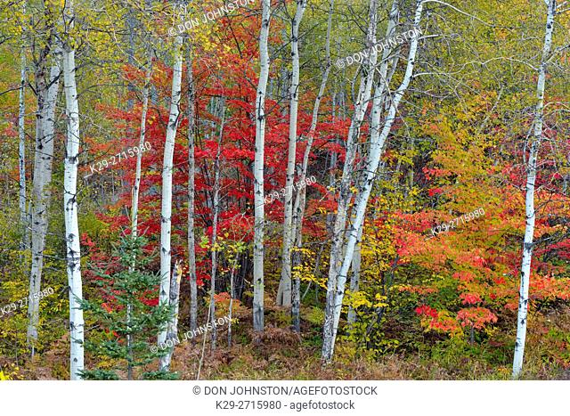 Autumn colour in a birch maplen woodland. Greater Sudbury, Ontario, Canada
