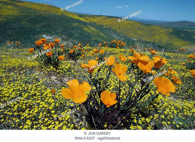 Wild poppies, Antelope Valley, California, United States of America, North America