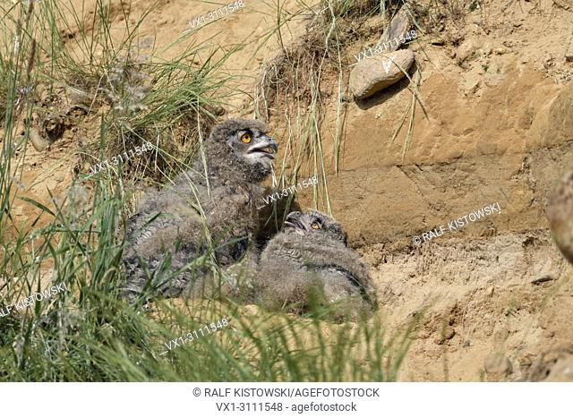 Eurasian Eagle Owls / Europaeische Uhus ( Bubo bubo ), young chicks, sitting / lying over day behind some grass in a sand pit, wildlife, Europe
