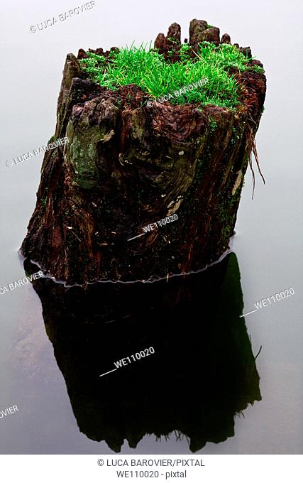 A trunk in the lake with an unusual growth of grass
