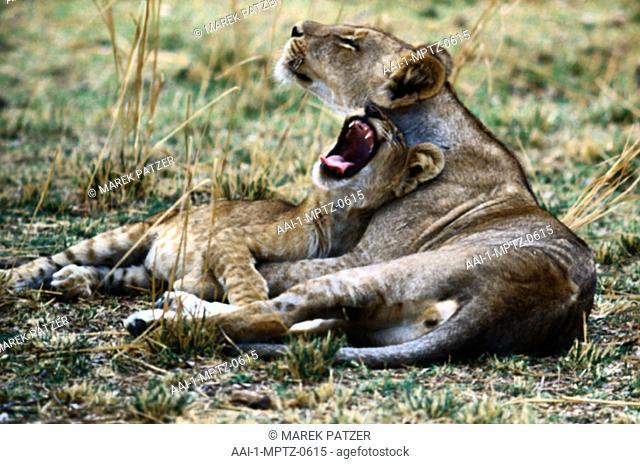 Lions, South Luangwa National Park, Zambia