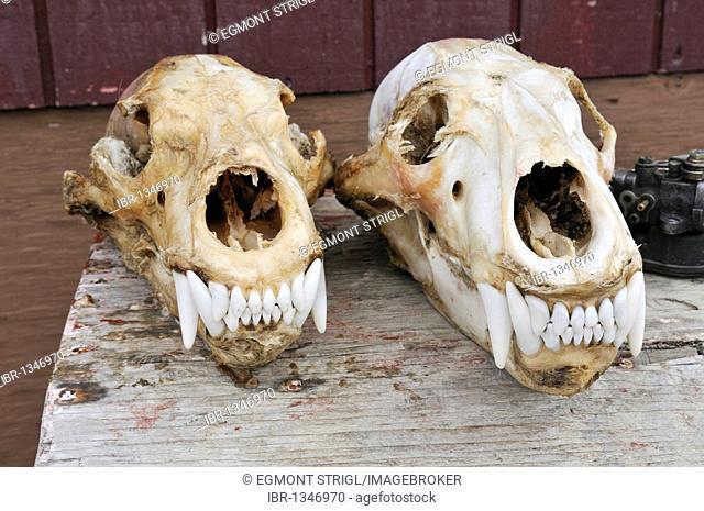 Freshly skinned skulls of polar bears, Clyde River, Baffin Island, Nunavut, Canada, Arctic