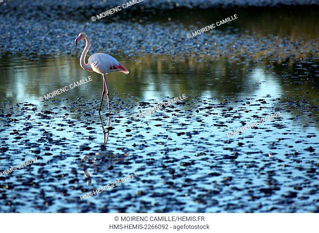France, Bouches du Rhone, Parc naturel regional de Camargue (Regional Natural Park of Camargue), Saintes Maries de la Mer