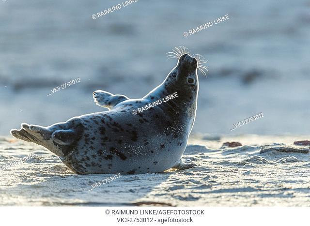Grey Seal, Halichoerus grypus, Pup in Backlight, Europe