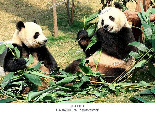 Two giant panda enjoying their bamboo food in a zoo