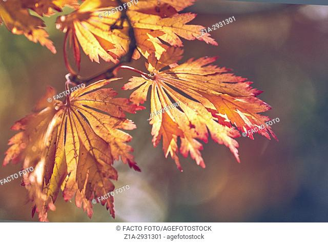 Acer japonicum aconitifolium in autumn at The Royal Botanical Garden. Madrid. Community of Madrid. Spain