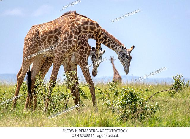 Masai giraffes (Giraffa camelopardalis tippelskirchii), in the Maasai Mara National Reserve, Kenya