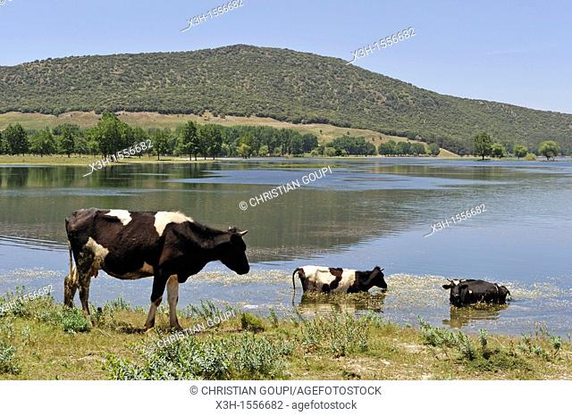 cows by the Dayet Aoua lake, around Ifrane, Middle Atlas, Morocco, North Africa