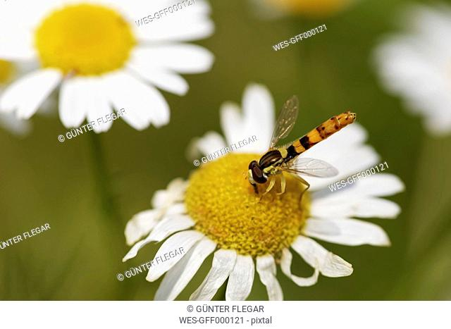 Austria, Hoverfly on daisy at Nationalpark Neusiedler See Seewinkel