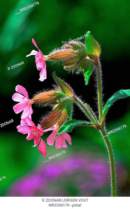 rattleweed; flower; blossom;