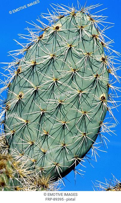 Spiny Opuntia