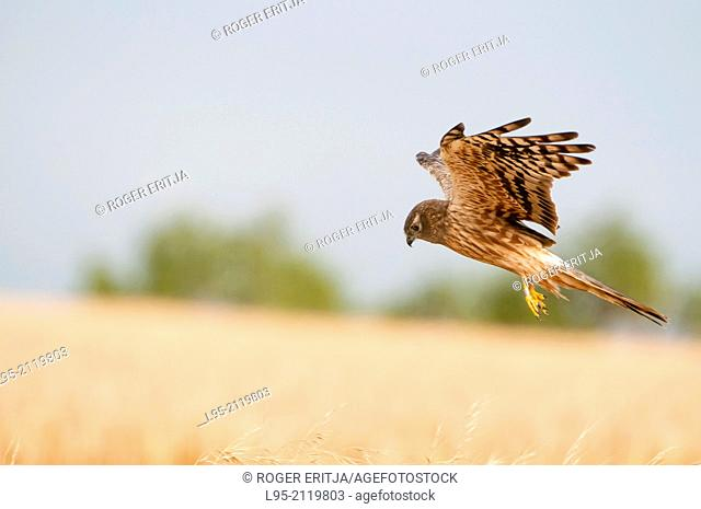 Circus pygargus female around her nest in the wheat field, Spain