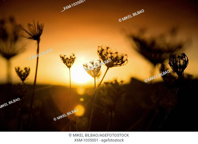 meadow and plants at sunset  Liencres, Cantabria, Spain