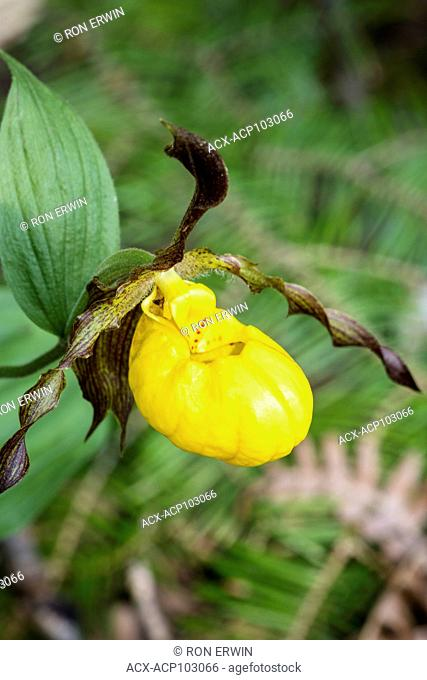 Large Yellow Lady's Slipper (Cypripedium parviflorum), Misery Bay Provincial Park, Manitoulin Island, Ontario, Canada