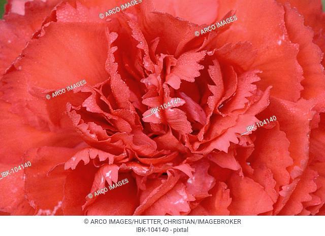 Begonia, blossom detail (Begonia tuberhybrida hybride)