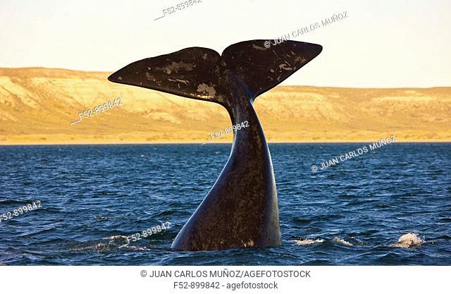 Southern Right Whale (Eubalaena australis), Puerto Piramides, Peninsula Valdes, Patagonia, Argentina