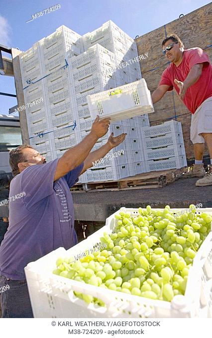 Grape pickers, Clayhouse vineyard, Paso Robles, California, USA