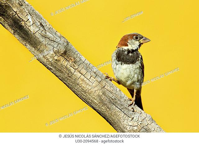 Male of house sparrow passer domesticus perched on branch in Las Batuecas-Sierra de Francia Natural Park. Biosphere Reserve of Sierra de Béjar and Francia