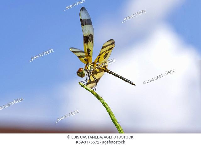 Brown-spotted Yellow-wing Dragonfly (Celithemis eponina). USA