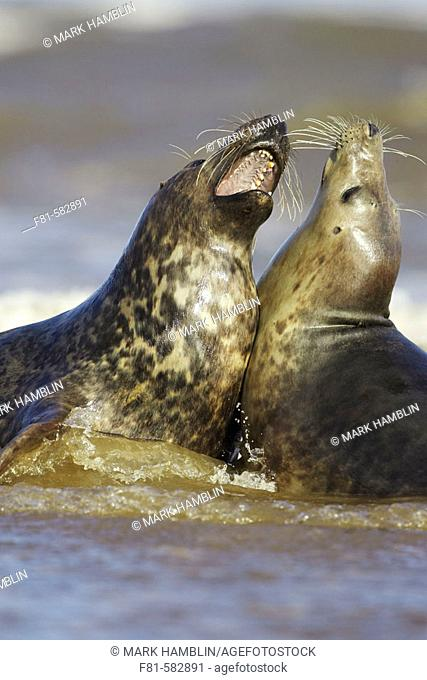 Grey Seal  (Grypus halichoerus)  two sub-adults play fighting in surf. North Lincolnshire, UK. November 2005