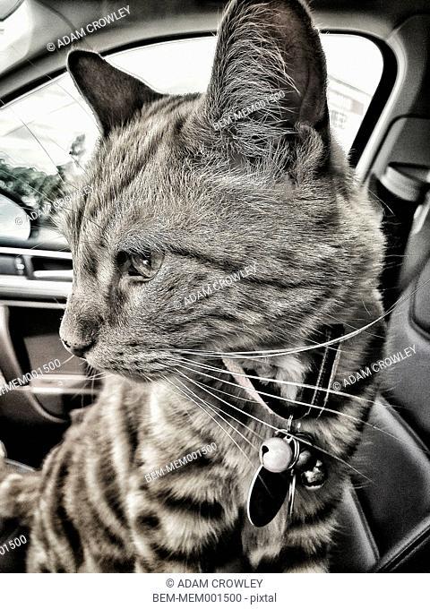 Close up of cat in car
