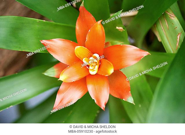 Vriesea, Vriesea splendens, blossom, close-up