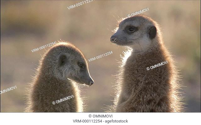 MS Three standing Meerkats / Kalahari Desert, South Africa