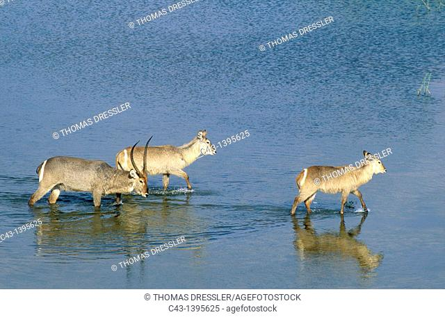 Common Waterbuck Kobus ellipsiprymnus - Male with horns and two females crossing the Letaba River  Kruger National Park, South Africa