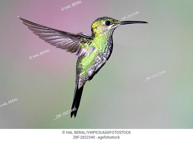 Green-Crowned Brillian Hummingbird flying (Heliodoxa jacula) Costa Rica