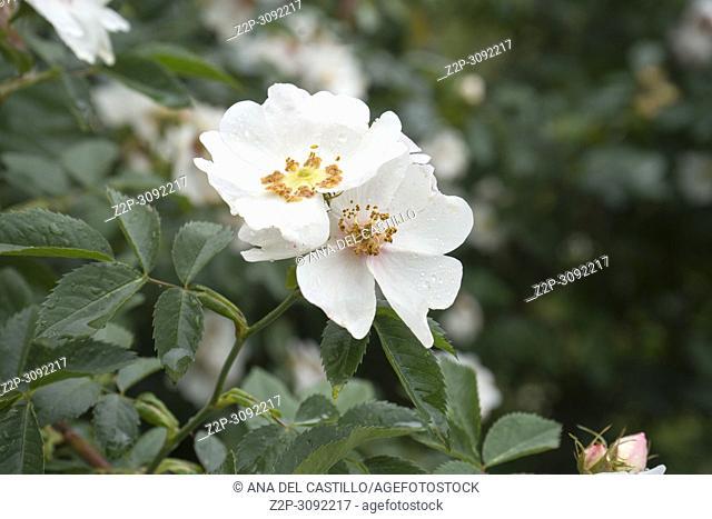 Wild Rose in Springtime Teruel Spain