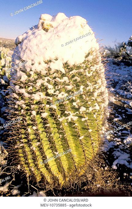 Fishhook Barrel / Compass Barrel Cactus (Ferocactus wislizeni)