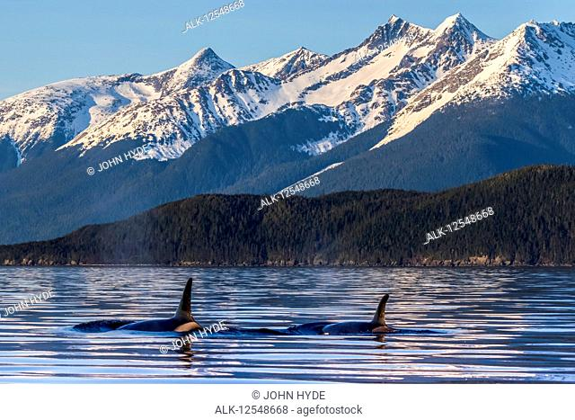 Orcas (Orcinus orca), also known as a Killer Whales, surface in Lynn Canal, Inside Passage; Juneau, Alaska, United States of America