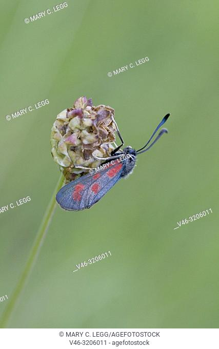 Slender Scotch Burnet, Zygaena loti. Blackish moth with red spots. Wingspan 25-35mm. Flight: June-August. Day-flying moth that inhabits dry scrubland