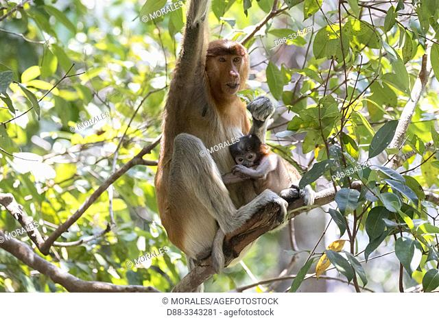 Asia, Indonesia, Borneo, Tanjung Puting National Park, Proboscis monkey or long-nosed monkey (Nasalis larvatus), Adult female and baby