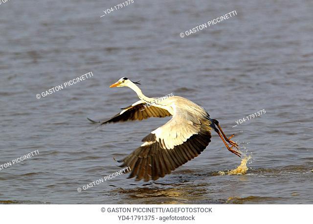 Grey Heron Ardea cinerea, flying at water level, Kruger National Park, South Africa