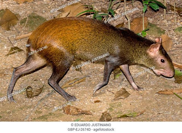 Cutia (Dasyprocta agouti), Manaus, Amazonas, Brazil