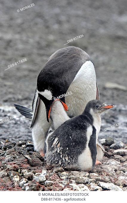 Gentoo Penguin(Pygoscelis papua papua). Barrientos Island, South Shetland Islands, Antarctica