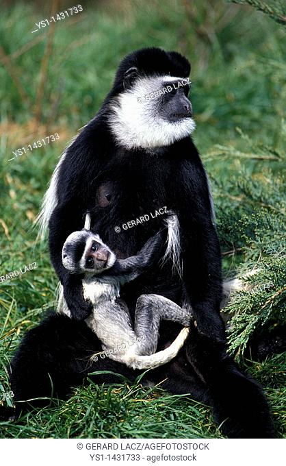BLACK AND WHITE COLOMBUS MONKEY colobus guereza, FEMALE CARRYING YOUNG
