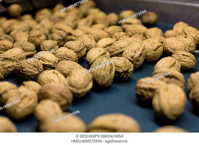 France, Isere, South Gresivaudan, sort of harvest of the AOC Grenoble walnuts on a farm near Vinay