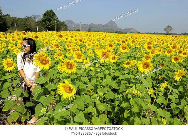 girl posing in sunflower field , sunflower fields of lopburi , central thailand