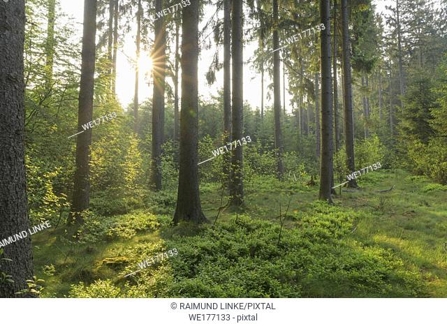 Coniferous forest at sunrise in spring, Baden-Württemberg, Germany