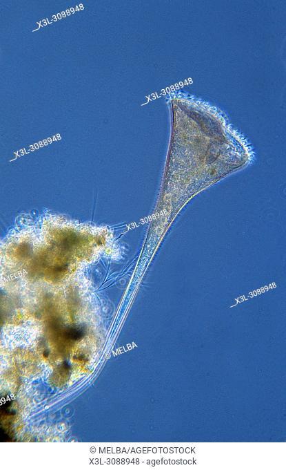 Stentor. Ciliata. Protozoans. Optic microscopy