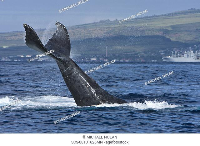 Humpback whale Megaptera novaeangliae in the AuAu Channel between the islands of Maui and Lanai, Hawaii, USA Each year humpback whales return to these waters in...