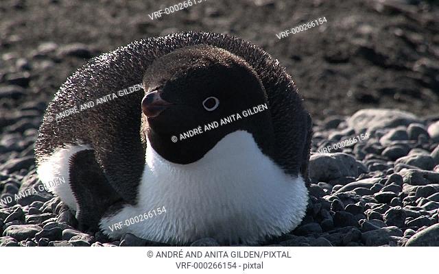 Adelie Penguin resting on pebble beach